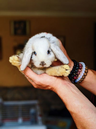 Cropped hands of man holding rabbit at home