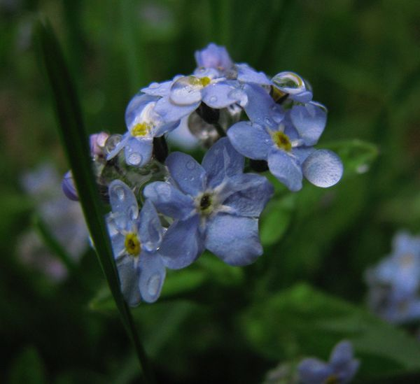 Flower Nature Forget Me Not Beauty In Nature Outdoors Freshness Blooming
