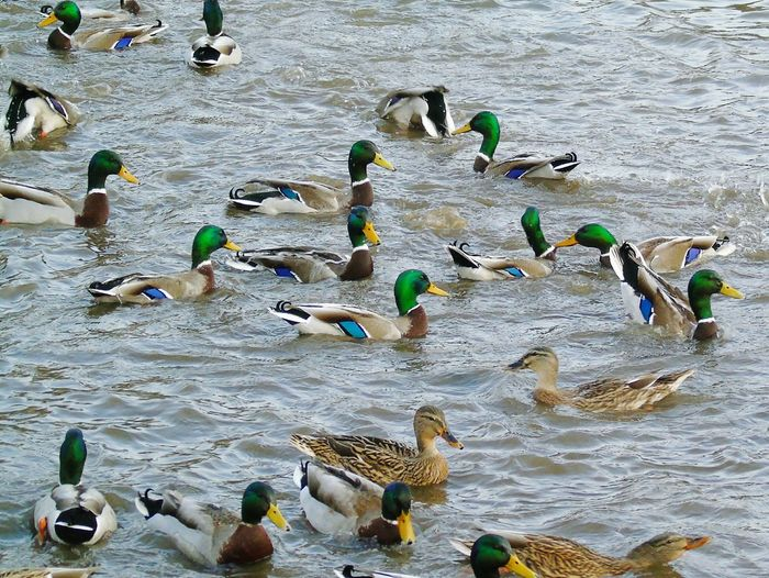 Ducking Chaos Large Group Of Animals Water Outdoors Duck Fight  No People Animal Themes Chewvalleylake Nature