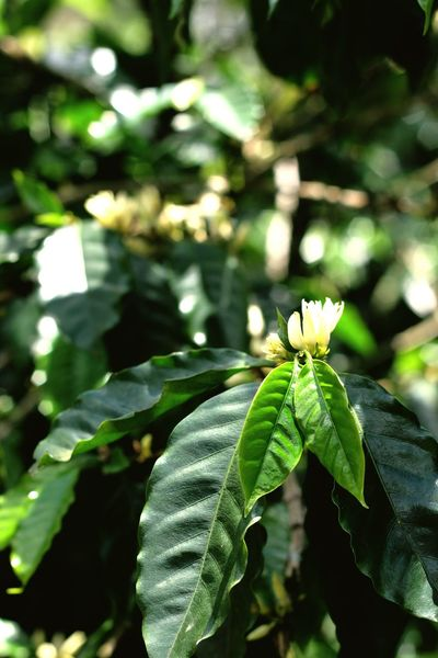 Close-up Nature Coffee Coffeeplant Green Color