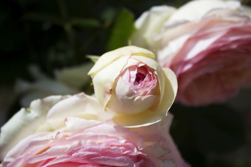 Camon pink and white Rose Camon Rose Village Flower Flower Head Freshness Nature No People Outdoors Petal Pink Color Rose - Flower