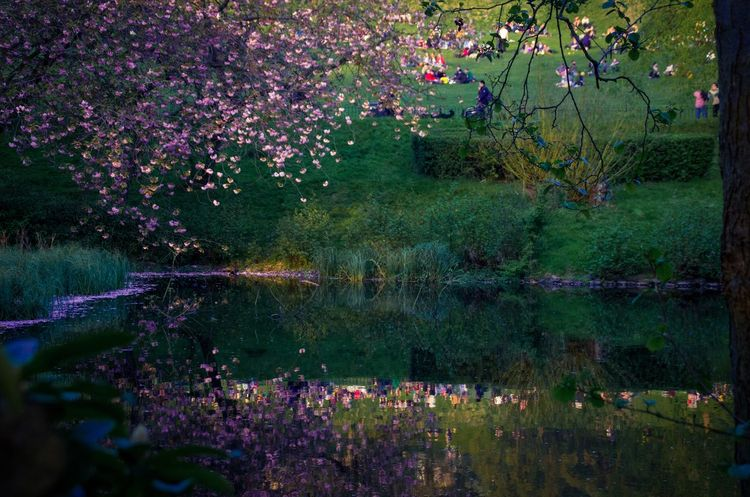 Went through the park on the way home as it was such a beautiful evening, love how the light caught the cherry blossoms. Beauty In Nature Blooming Blossom Cherry Blossoms City Crowd Flower Flowers Glasgow  My Year My View Kelvingrove Hidden Gems  Nature Outdoors Park People Pink Color Reflection Scotland Scottish Spring Tranquility Tree Water The Great Outdoors - 2016 EyeEm Awards