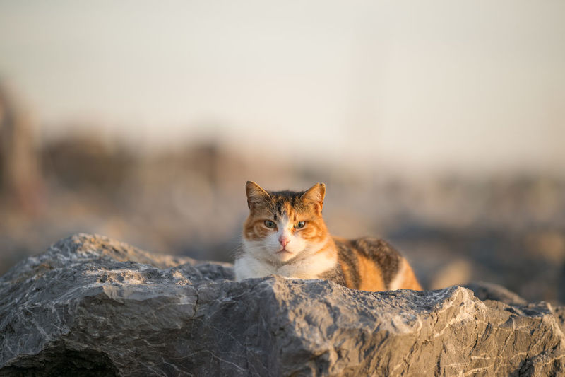 Stray Cat enjoying the Sunset Alertness Animal Themes Bokeh Cat Cats Cat♡ Domestic Animals Domestic Cat Feline Focus On Foreground Istanbul Istanbul Turkey Looking At Camera Mammal Natanomalous Natanomalous.com One Animal Outdoors Pets Portrait Rocks Sitting Staring Stray Cat The Portraitist - 2016 EyeEm Awards Pet Portraits