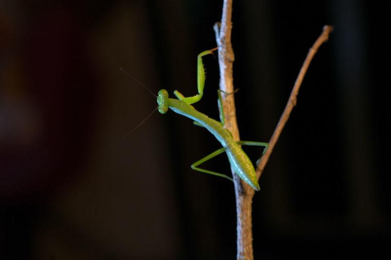 Close-up of praying mantis on branch