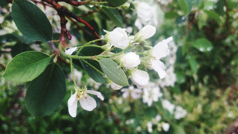 Flower White Color Garden Photography Sierra Nevada Serene Tranquil Outdoors Flowerlovers Nevada Sunday Morning Mother's Day 2016