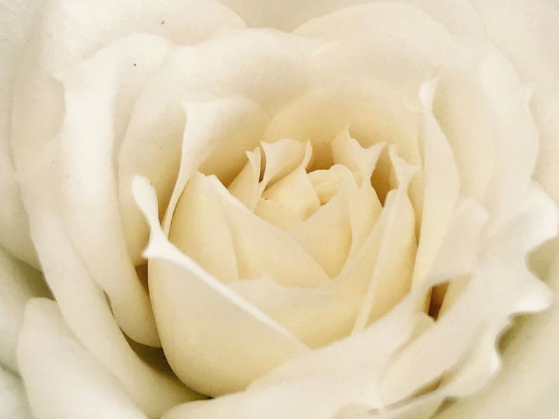EyeEmNewHere White Rose White Flower White Color Wedding Rose Flowers Flower Head Close-up Flower Close Up Flower Photography Flowers,Plants & Garden Roses🌹 Nature Beauty In Nature Beatiful Nature Beautiful Postcard Weddingcard Poster Long Goodbye