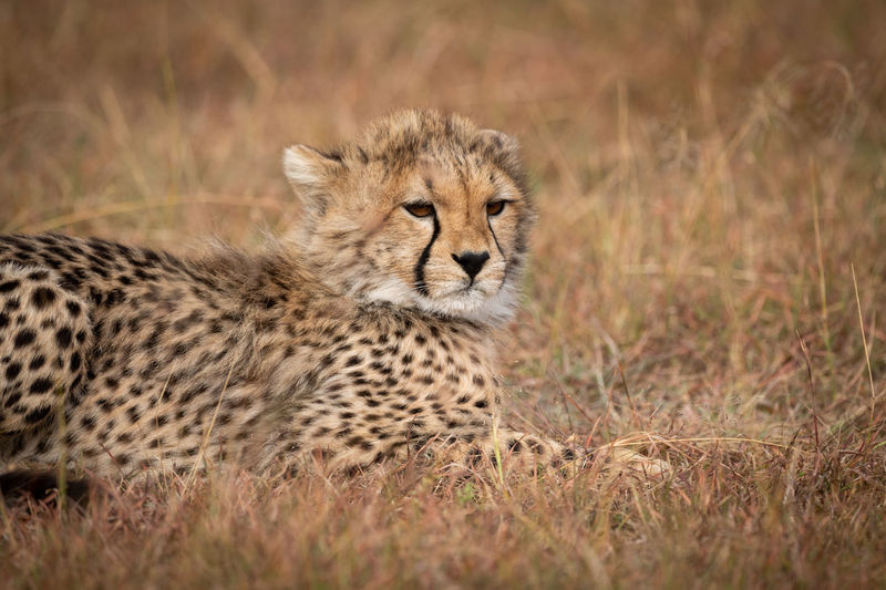 Portrait of cheetah sitting in forest