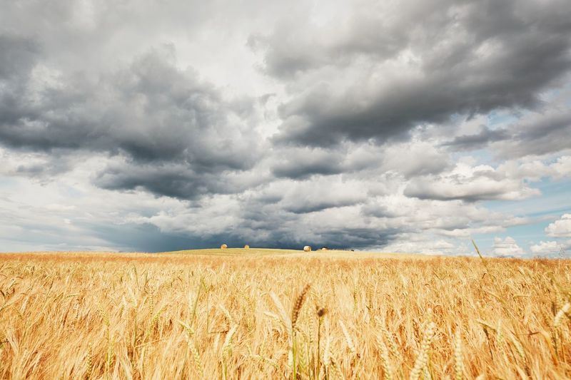The storm is coming. Poor weather and ripe cereal fields. Agricultural Land Agriculture Cereal Plant Cloud - Sky Cornfield Dark Dramatic Sky Farm Field Growth Harvest Landscape Nature Outdoors Rain Reap Rural Scene Scenics Season  Sky Storm Storm Cloud Stormy Weather Summer Weather