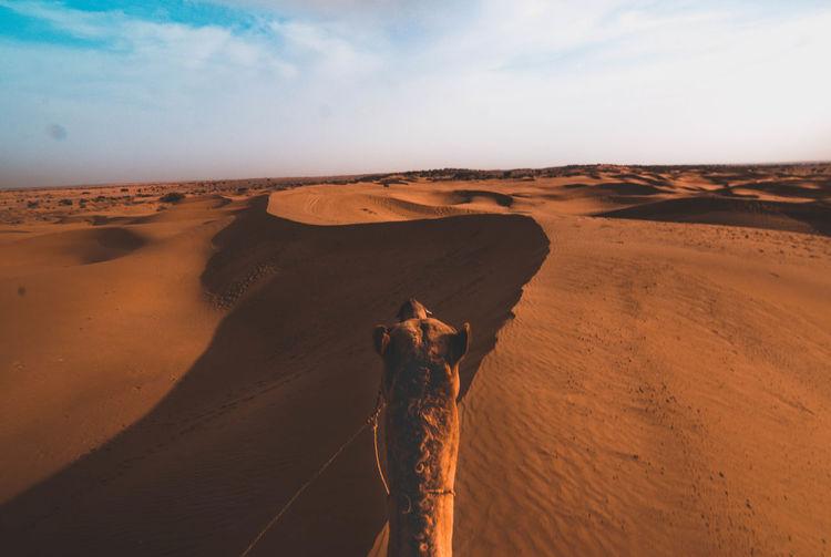 Headshot Of Camel On Sand Dunes In Desert