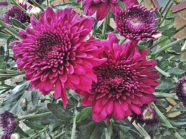 HAPPY MONDAY! Autumn Flower Chrysant Flowerforfriends Eyeemflowerlover