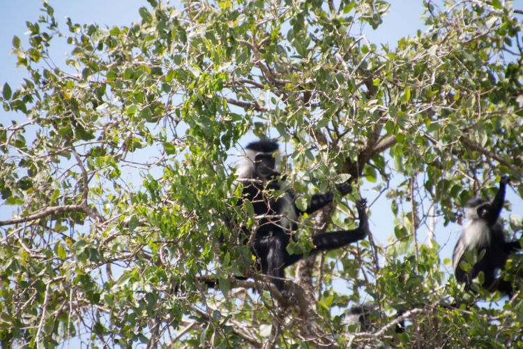 Two colobus monkeys hidden on a tree top in Saadani National Park Animal Themes Animal Wildlife Animals In The Wild Beauty In Nature Branch Colobus Colobus Monkey Colobus Monkeys Day Growth Low Angle View Mammal Nature No People Outdoors Perching Sky Tree