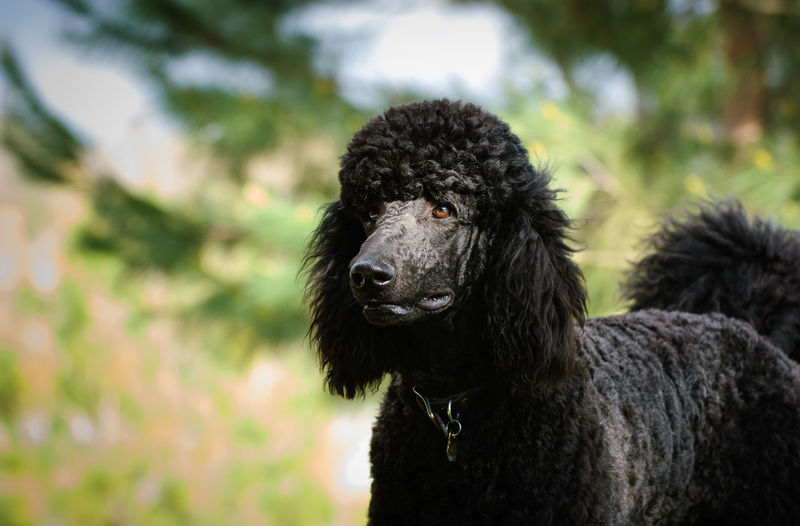 Dog Canine Pets Portrait No People Domestic Animals Day Poodle Standard Poodle Dogs Outdoors Animal Themes Animal Standard One Animal Hair Animal Head