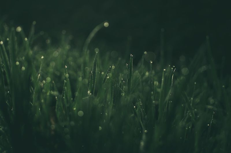Close-up of wet grass on field during rainy season