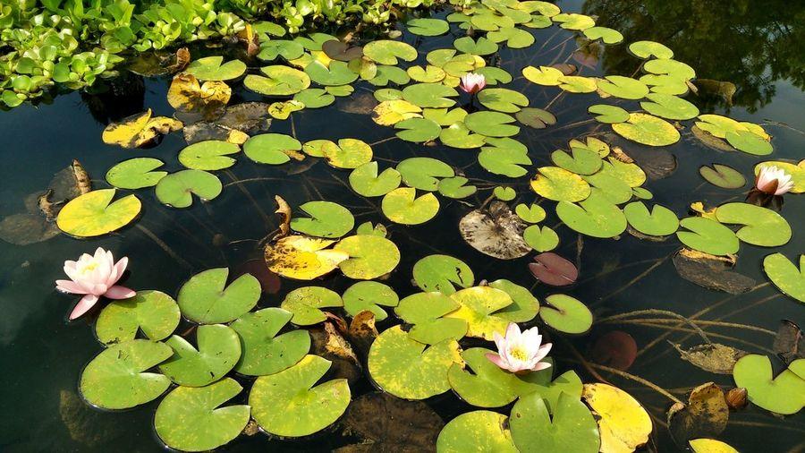Lotoflower Leaf Nature Floating On Water Water Plant Outdoors Park Italy 🇮🇹 Italia Lotus Flower Lotus