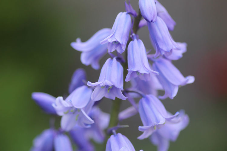 Close-up of bluebell flowers growing at park