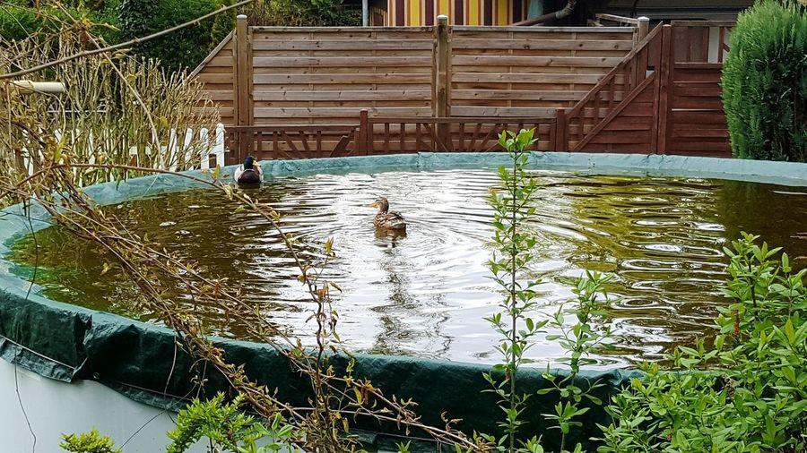 Enten auf der Poolabdeckung, eröffnen die Badesaison