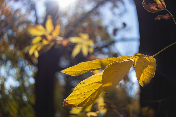 Leaf Plant Part Autumn Plant Focus On Foreground Change Close-up Nature Yellow Leaves Growth No People Beauty In Nature Day Vulnerability  Tree Fragility Outdoors Sunlight Selective Focus Maple Leaf Natural Condition Autumn Collection Fall Bokeh