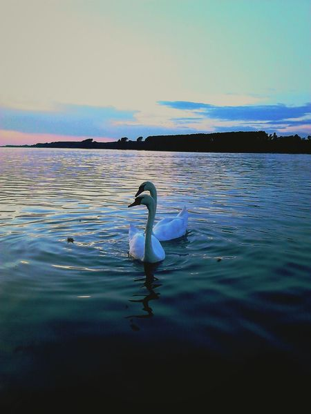 Two Hearts Swimming Together Swans ♡ Peace And Quiet Stillness