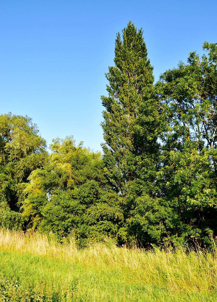 tree, nature, growth, beauty in nature, green, day, clear sky, green color, no people, forest, tranquility, grass, scenics, tranquil scene, outdoors, landscape, blue sky, sky