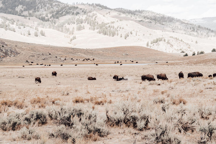Flock of bisons in a field