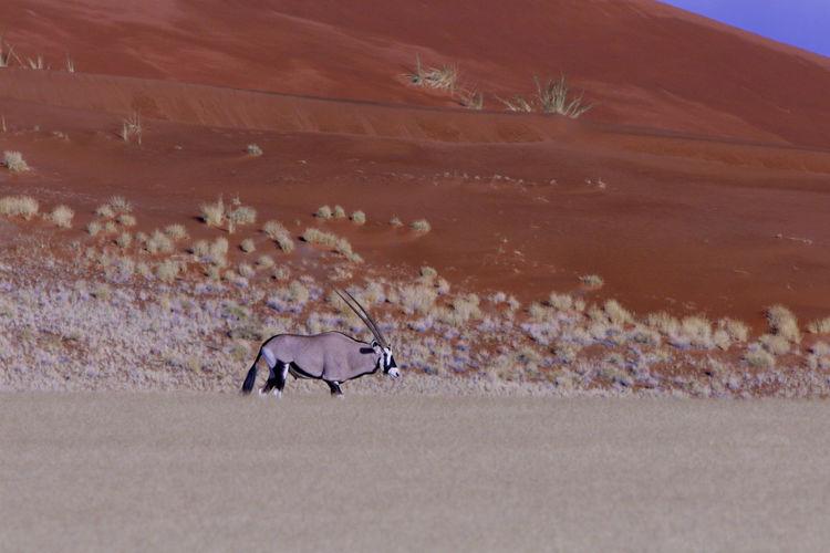 Oryx walking on field against sand dune