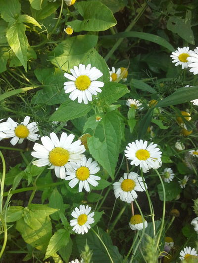 Chamomile Field 🌼🌼🌼🌼🌼 Flover, Green, Summer Flowers For My Friends Flowers, Nature And Beauty Flovers🌺beautiful Love 💕 EyeEm Best Shots - Nature Naturally Me People Natural Beauty