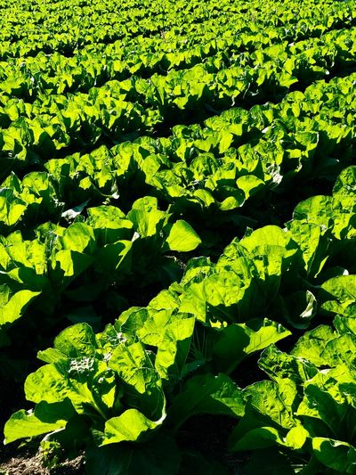 Countless Napa Cabbages against the Sun. (181110-181206) Vegetables Napa Cabbages Green Color Plant Sunlight Nature Growth Day No People Beauty In Nature Land Field Plant Part Leaf Freshness Shadow Tranquility Outdoors Close-up Full Frame High Angle View Backgrounds