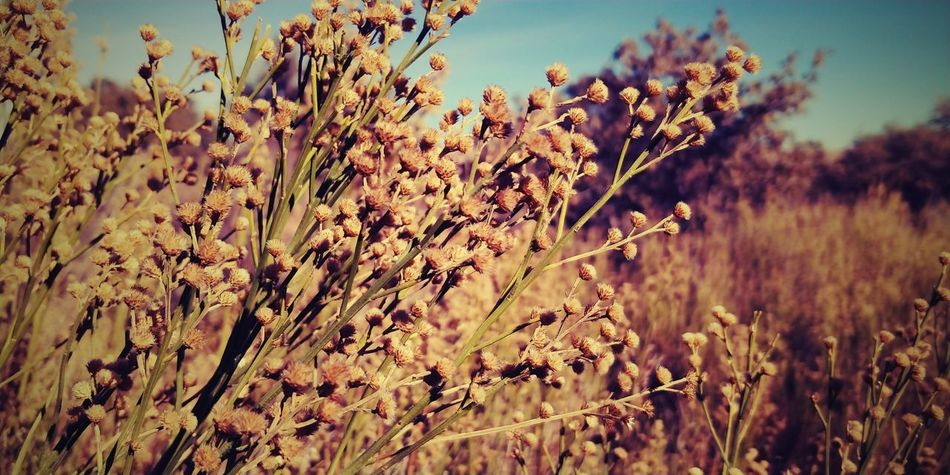 Sepia Nature Plant Field Cereal Plant Beauty In Nature No People Flower Day Clear Sky Close-up Outdoors EyeEmNewHere