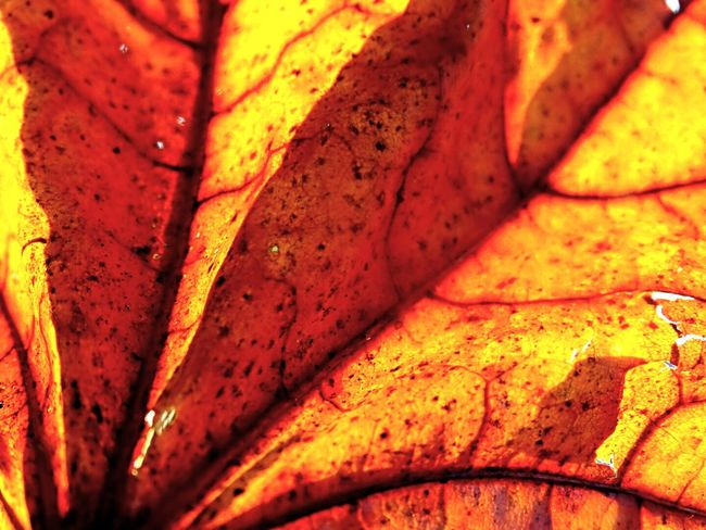 Close-up Pattern Autumn Textured  Fragility Orange Color Orange Leaf EyeEm Gallery EyeEm Getty Collection Beauty In Death Death