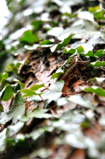 Autumn Autmumn Leaves Nature Nature Photography Green Color Cold Temperature Wild Ivy Still Green