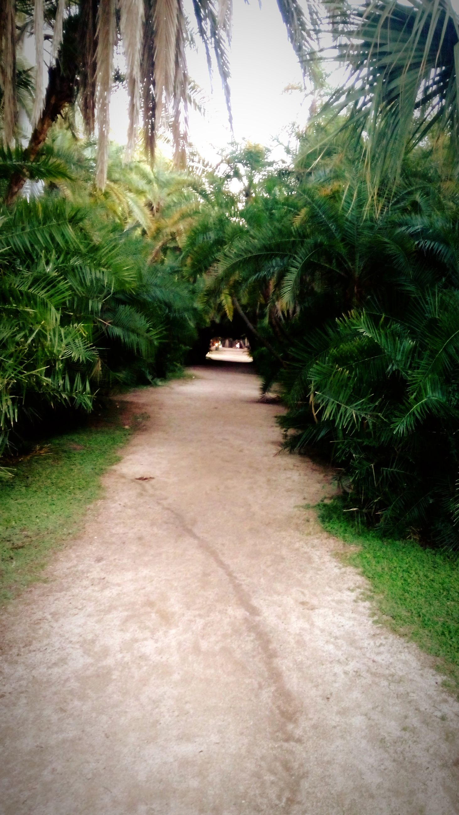 tree, the way forward, growth, green color, diminishing perspective, footpath, nature, tranquility, plant, grass, narrow, pathway, tranquil scene, vanishing point, walkway, beauty in nature, sunlight, green, palm tree, shadow