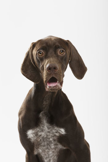 Expressive Braco Brown Canine Dog Dog Ears Dog Head Dog Head Shot Doggy Domestic Domestic Animals German Dog German Shorthaired Pointer Looking Looking At Camera Mammal One Animal Pedigreed Pets Pointer Dog Portrait Purebred Dog Snout Tongue