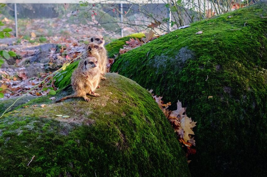 Animal Themes High Angle View No People Day Outdoors Animals In The Wild Tree Mammal Nature Animals Meerkat Meerkats Nature Beauty In Nature Fall Winter Cute