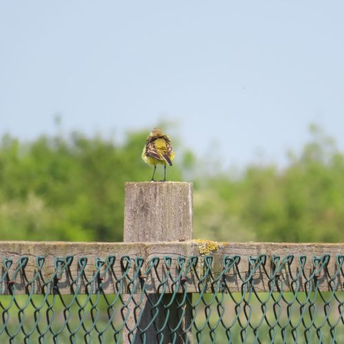 Yellow Wagtail Motacilla Flava EyeEm Selects Animal Themes Day Barrier Fence Animal Sky Boundary Nature One Animal Invertebrate Animals In The Wild Focus On Foreground Animal Wildlife No People Clear Sky Outdoors Perching