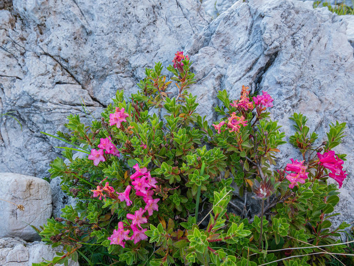 Close-up of pink flowering plants by rocks