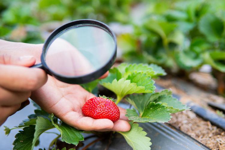 Plant Strawberry Checking Organic
