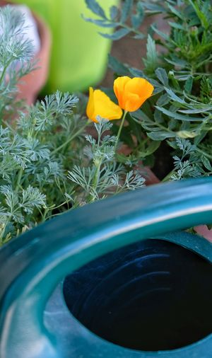 Is he watching us? Watering Can Fuji Xt20 Poppies  Blurred Background Photography Flower Flower Head Close-up Plant Flowering Plant In Bloom Blooming