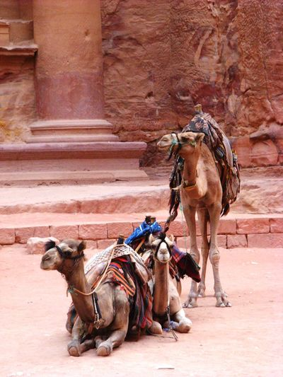 Two camels in petra
