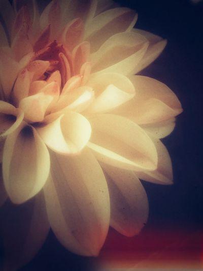 ダリア Flower Plants IPhoneography Edit