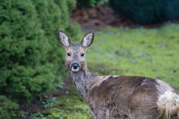 Reh in meinem Garten ... Fellwechsel Deer Garden Reh Animal Themes Animals Wildlife Nature Wildlife & Nature Garden Photography Fellwechsel