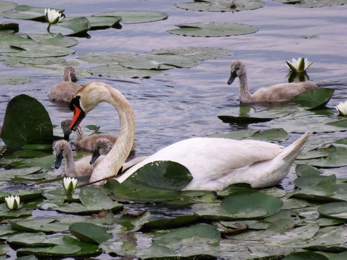 Animal Family Animal Themes Animal Wildlife Animals In The Wild Balaton Beauty In Nature Bird Close-up Day Floating On Water Flowers Lake Lake View Lily Pad Nature No People Swan Swimming Togetherness Water Water Bird Water Flowers Water Lillies Young Animal Young Bird