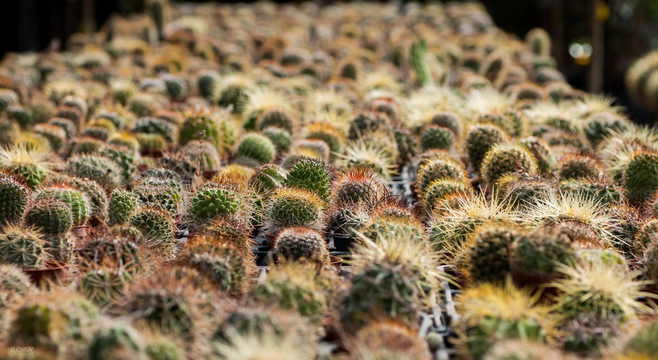 Barrel Cactuses Growing At Greenhouse