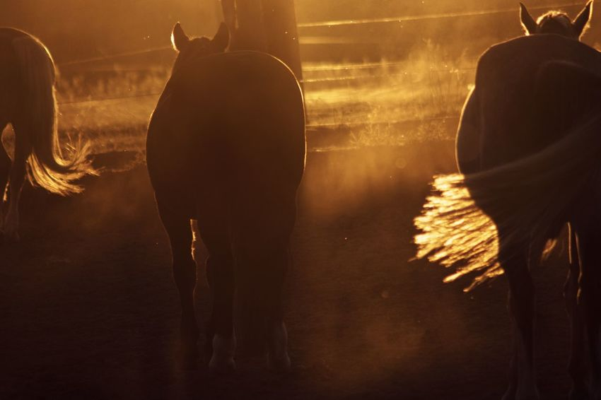 Horses in dusty sunset🤩 Tranquil Scene Golden Hour Horses Horse Photography  Horse Sunset Sunset Silhouettes Dusty Motion People Silhouette Lifestyles Rear View Nature