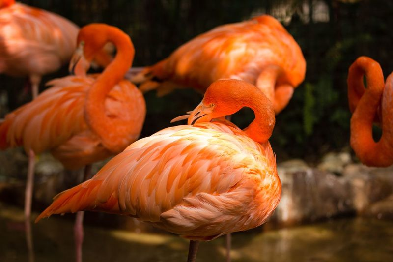 flamingo Orange Color Focus On Foreground No People Close-up Animal Animal Themes Flamingo Group Of Animals Water Bird Nature Outdoors Animal Wildlife
