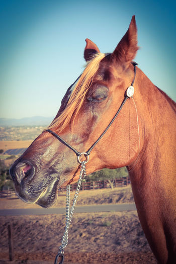 One Animal Domestic Animals Brown Outdoors No People Day Animal Themes Mammal Close-up Sky Bonsall,ca Hidden Hills Equestrian Ranch Rescue Horse Beautiful Animal Arabian Horse Arabian Nature Standing Livestock Animal Animal Head  Horse