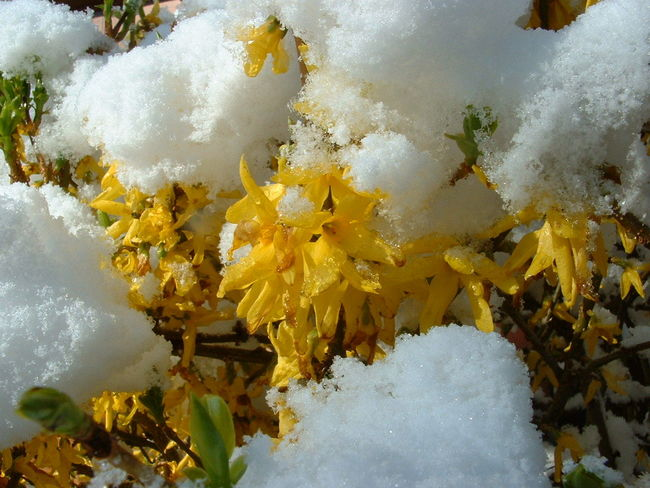 Beauty In Nature Close-up Flower In Snow Nature Plant Season  Snow Winter Winter Jasmine Yellow Flower