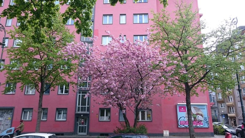 Camouflage Mobilephotography The Purist (no Edit, No Filter) City Life Tree Flower City Pink Color Architecture Building Exterior Built Structure Cherry Blossom Cherry Tree