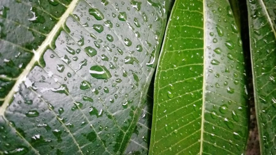 leaves in rain Ssclix SSClicks SSClickPics SSClickpix Mobilephotography Water Leaf Full Frame RainDrop Drop Backgrounds Wet Close-up Green Color Plant Leaf Vein Droplet Water Drop Rainy Season Monsoon Rain Leaves Detail