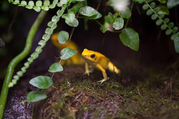Close-up of yellow frogs on moss covered rock
