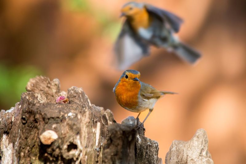 Two Robins Bird Animal Themes Wildlife Perching Songbird  Nature Robin